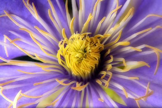 Clematis by Don Paulson
