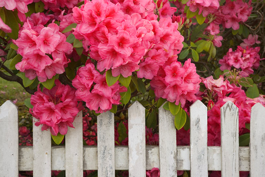 Rhododendron and Fence, Reedsport, Oregon by Don Paulson