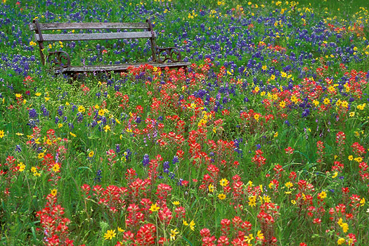 Texas Bluebonnet, Indian Paintbrush, bench, Texas Hill Country meadow by Don Paulson