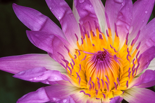 Water Lily by Don Paulson