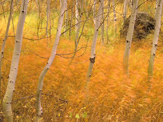 Aspens and Windblown Grasses, Idaho by Don Paulson