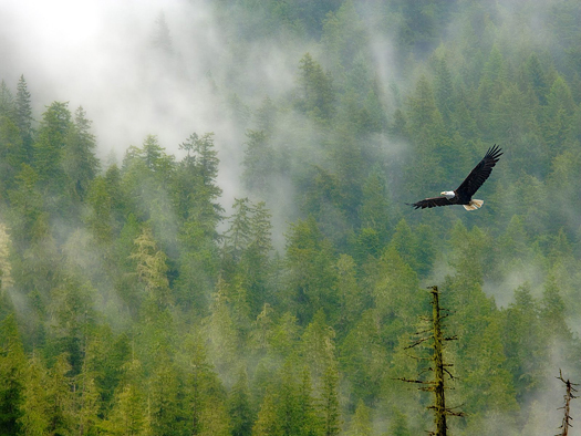 Bald Eagle and Foggy Forest Mount Rainier National Park by Don Paulson