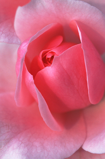 Pink rose by Dynamic Graphics