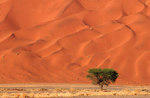 Sand Dunes of Sossusvlei with a single green tree - Namib desert, Namibia