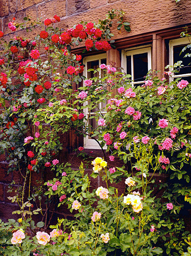 A rose garden next to a house