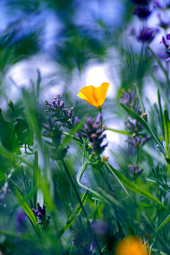 Single yellow Poppy amidst purple flowers