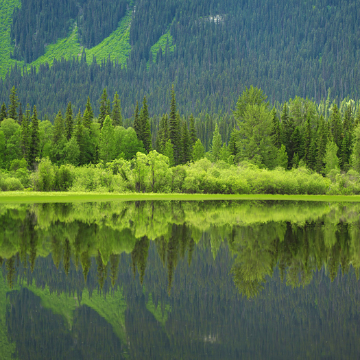 Green trees refected in a lake