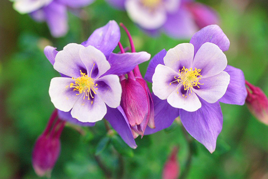 Two Columbines - San Juan Mountains