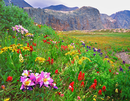 Colorado Trail Columbine - Weminuche Wilderness, San Juan Mountains by John Fielder