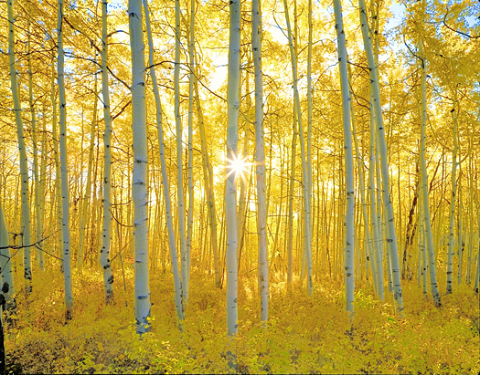 Aspen Forest Sunrise - Gunnison National Forest near Crested Butte