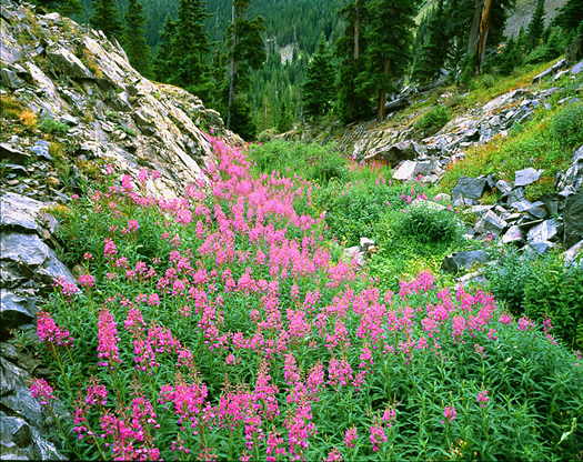 Tenmile Range Fireweed - Tenmile Range near Breckenridge, Colorado by John Fielder