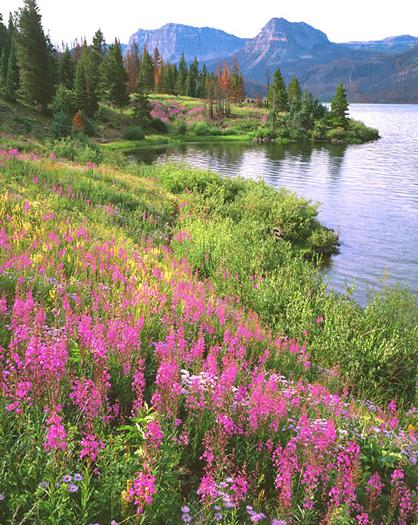 Trappers Lake Fireweed by John Fielder