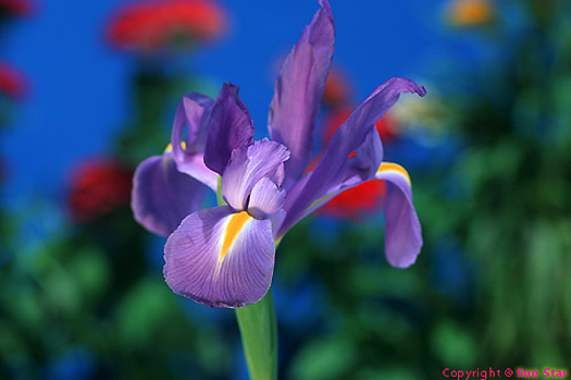 Closeup of purple iris - SunStar
