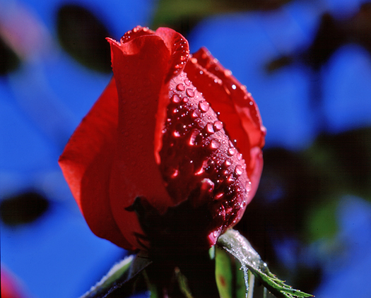 Rosebud with Dew by Robert Castellino
