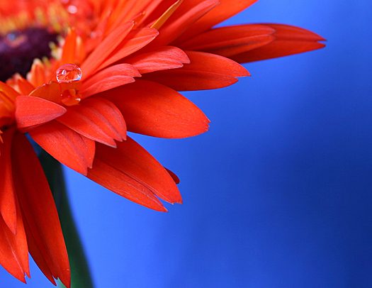 Beautiful red gerbera daisy with waterdrop
