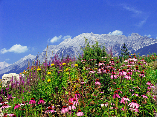 Alpine field of colorful wildflowers in Austrian Alps