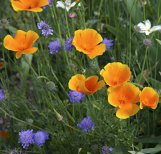 Yellow buttercups and blue flax in a green field