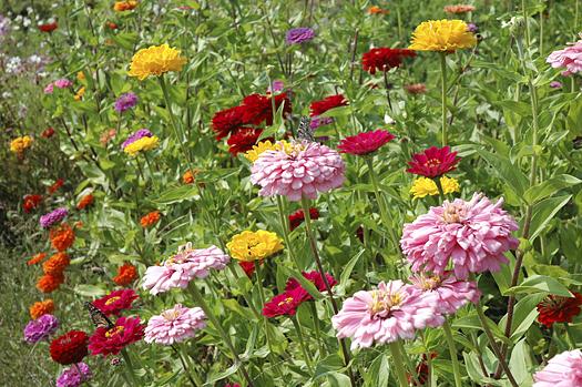 Field of zinnias