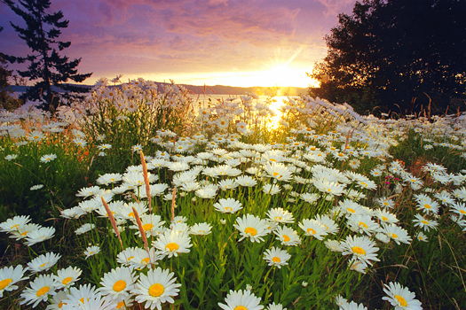 sunrise over a field of wild Daisies on Vancouver Island