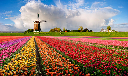Colorful tulip field in a typical Dutch setting