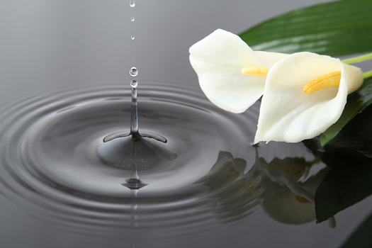 Calla lilies - Water drop and flowers