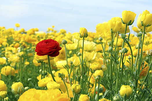 A single red rose stands out against a field of yellow roses