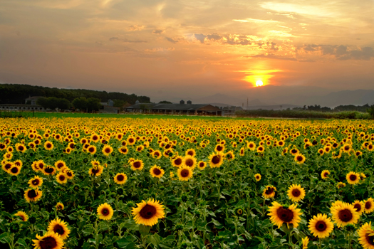 Sunset on a sunflower field in Emporda. Catalunya.