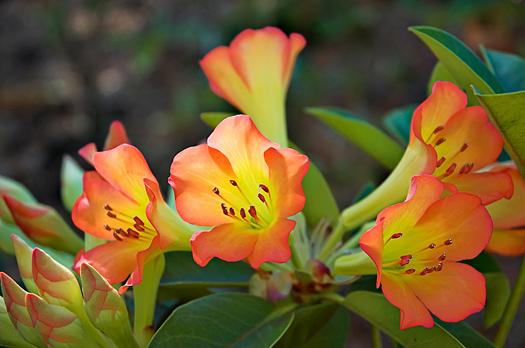 Vireya Rhododendron, Hilo, Hawaii
