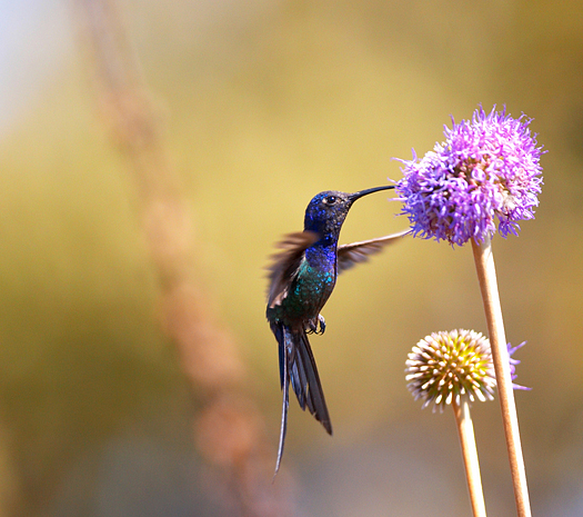 Hummingbird feeding on a purple flower