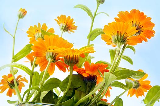 Orange flower under a blue sky