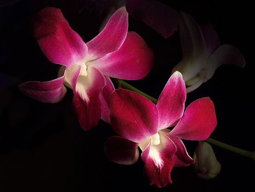 Twin deep pink orchids against black background
