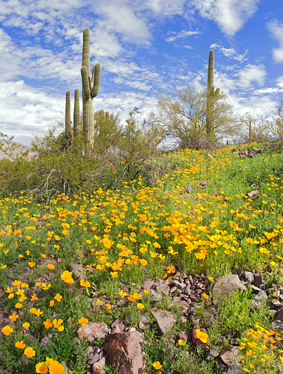 Blooming Desert with Saguaros in Picacho Peak State Park