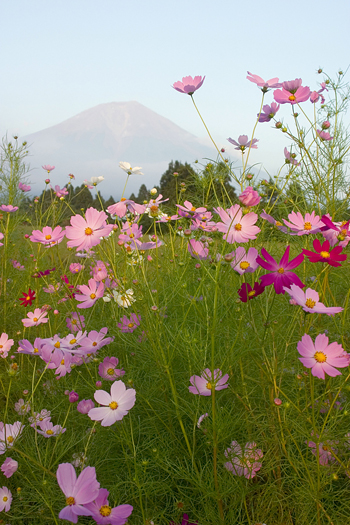 Cosmos with Mt Fuji in background