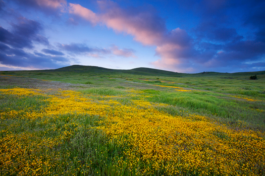 Coast Goldfield wildflowers on a hillside at sunrise. Orange County, CA
