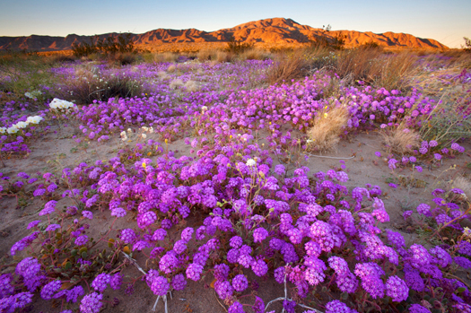 Desert Wildflowers In Joshua Tree National Park, California