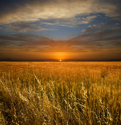 A golden wheat field beneath a brilliant sunset sky