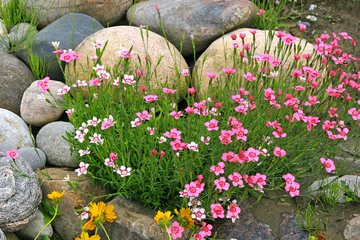 Rock garden with pink flowers