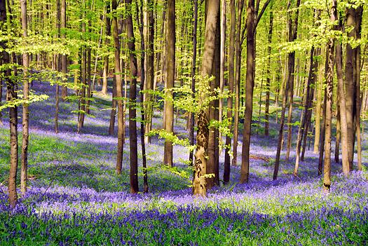 Beech forest in springtime with blooming bluebells,Hallerbos,Belgium.