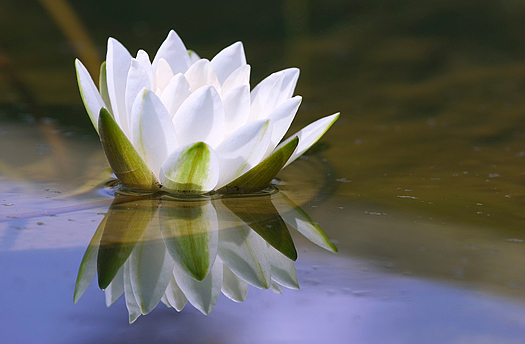 white delicate water lily reflected in pool