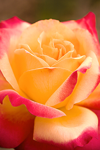 red and yellow rose closeup