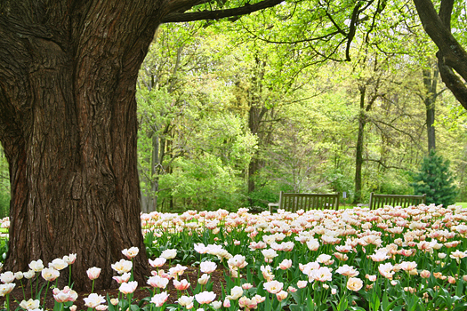 Spring beauty - blooming tulips, park benches next to a large tree