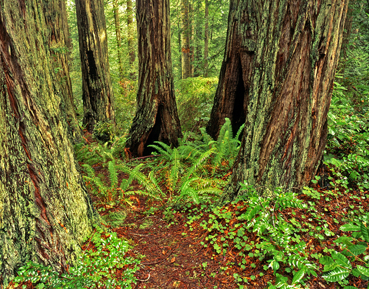 Trees in the Lady Bird Johnson Grove located in Redwood National Park, California.