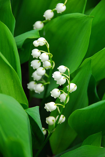 Blooming Lily-of-the-valley closeup