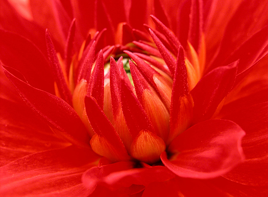 Closeup red dahlia