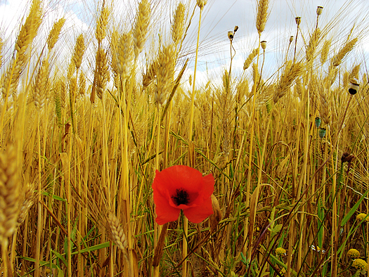 A single red poppy in a wheat field