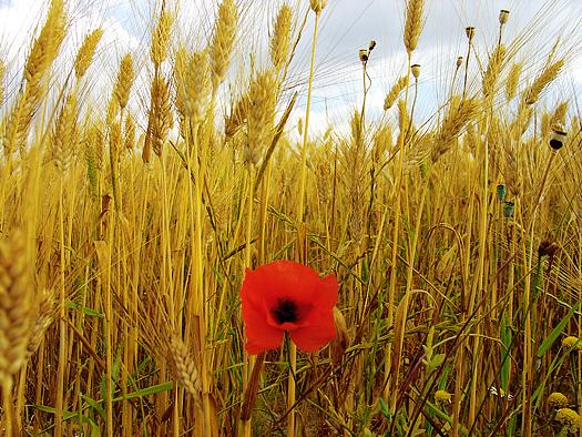 A single red poppy in a wheat field