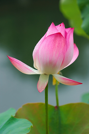 Pink Chinese water lily (lotus)