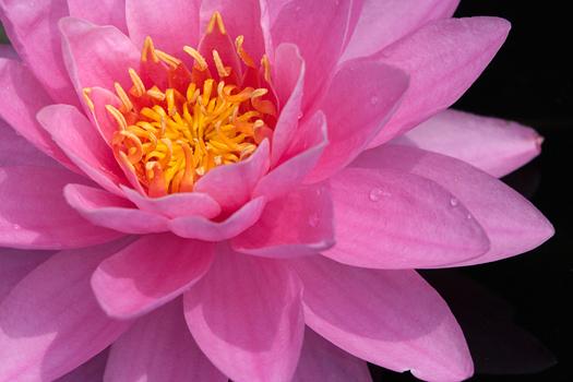 Beautiful water-lily close-up