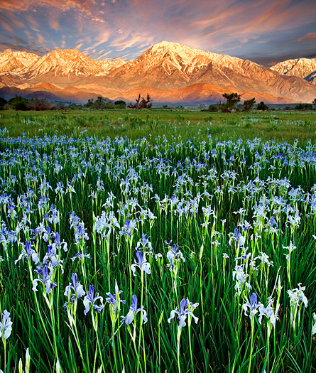 Irises in Owens Valley