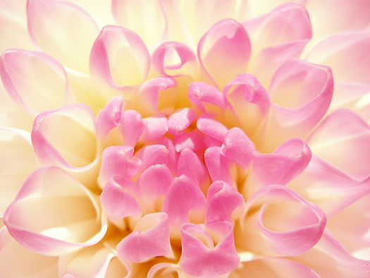 Fine rosy flower. Dahlia of grade